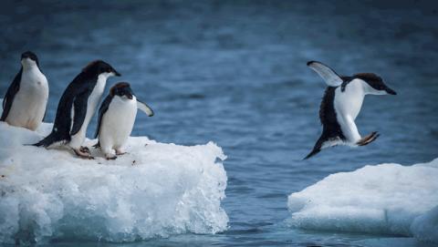 Como apadrinar un pinguino 2018