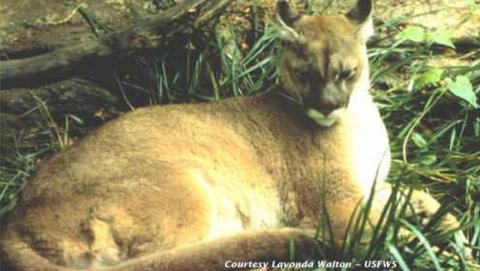 El Gato Fantasma, primer animal oficialmente extinguido en 2018