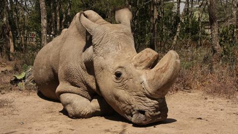 El último rinoceronte blanco del Norte macho, gravemente enfermo