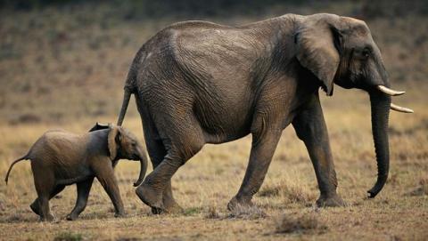 Los genes resistentes al cáncer de los elefantes están en los humanos