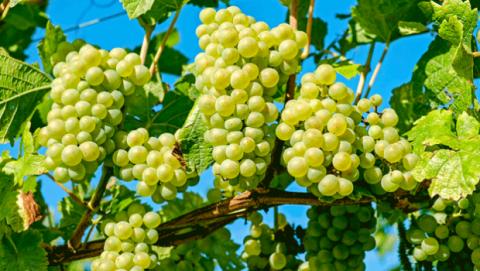 Las uvas ayudan a adelgazar