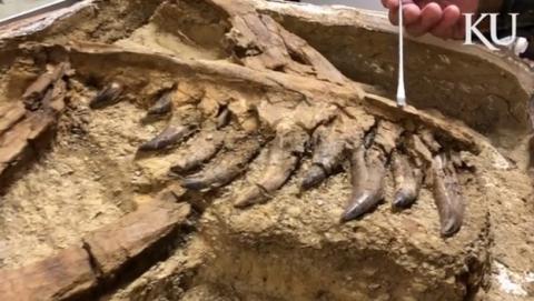 Encuentran un raro Tiranosaurio Rex adolescente