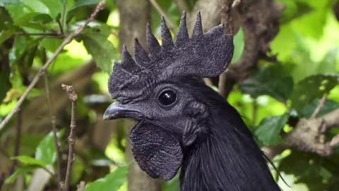 Ayam Cemani, la gallina completamente negra, incluyendo cresta, pico, y carne