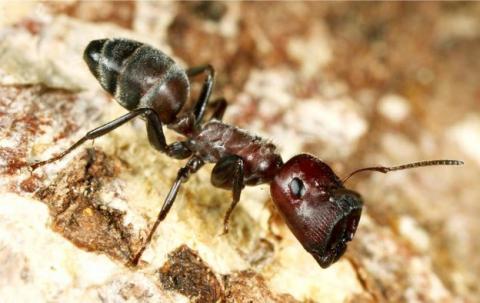 La hormiga que explota, el calamar bizco, y otras especies descubiertas