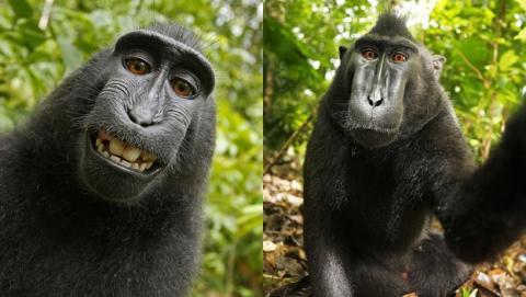 El selfie del macaco no es de nadie: un animal no tiene propiedades