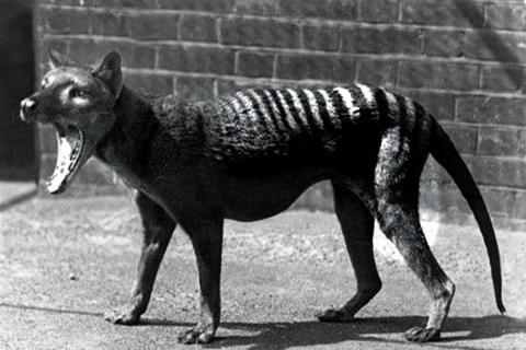 Tigre de Tasmania