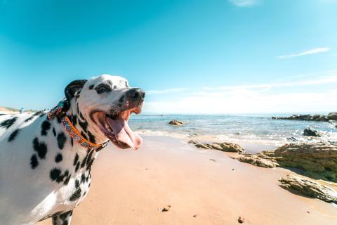 perro dálmata playa