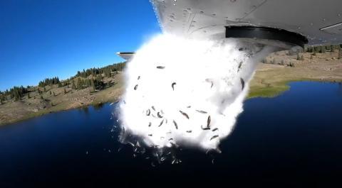 Avión lanza miles de peces en pleno vuelo