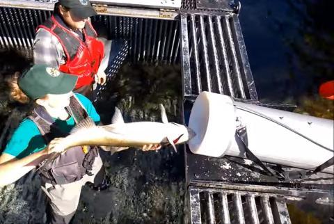 Cañón que dispara salmones