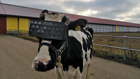 Vacas con gafas de realidad virtual