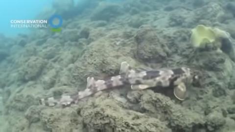 Tiburón que camina